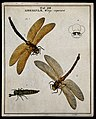 Two dragonflies (Libellulæ species); adults and larva. Colou Wellcome V0022479EL.jpg