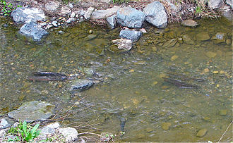 Stevens Creek (California) - Two pairs of steelhead trout spawning in lower reaches of Stevens Creek may have had difficulty ascending to former spawning grounds due to fish passage barriers