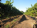 UC Davis grape vines in Sonoma.jpg