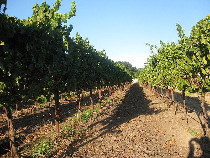 File:UC Davis grape vines in Sonoma.jpg