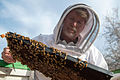 USDA entomology bee inspection (12813167043).jpg