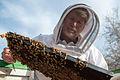 USDA entomology bee inspection (12813167043).jpg