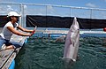 US Navy 050411-N-3419D-057 A female bottlenose dolphin BJ performs her daily exercises while her trainer, Dera Look, supervises.jpg