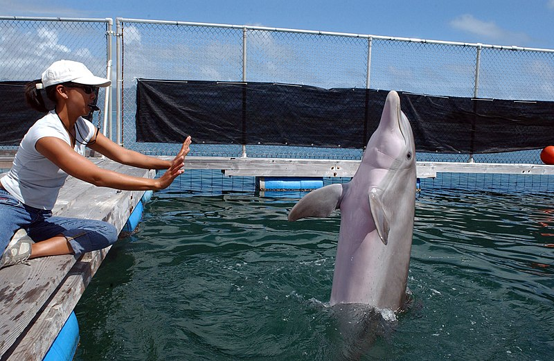 File:US Navy 050411-N-3419D-057 A female bottlenose dolphin BJ performs her daily exercises while her trainer, Dera Look, supervises.jpg