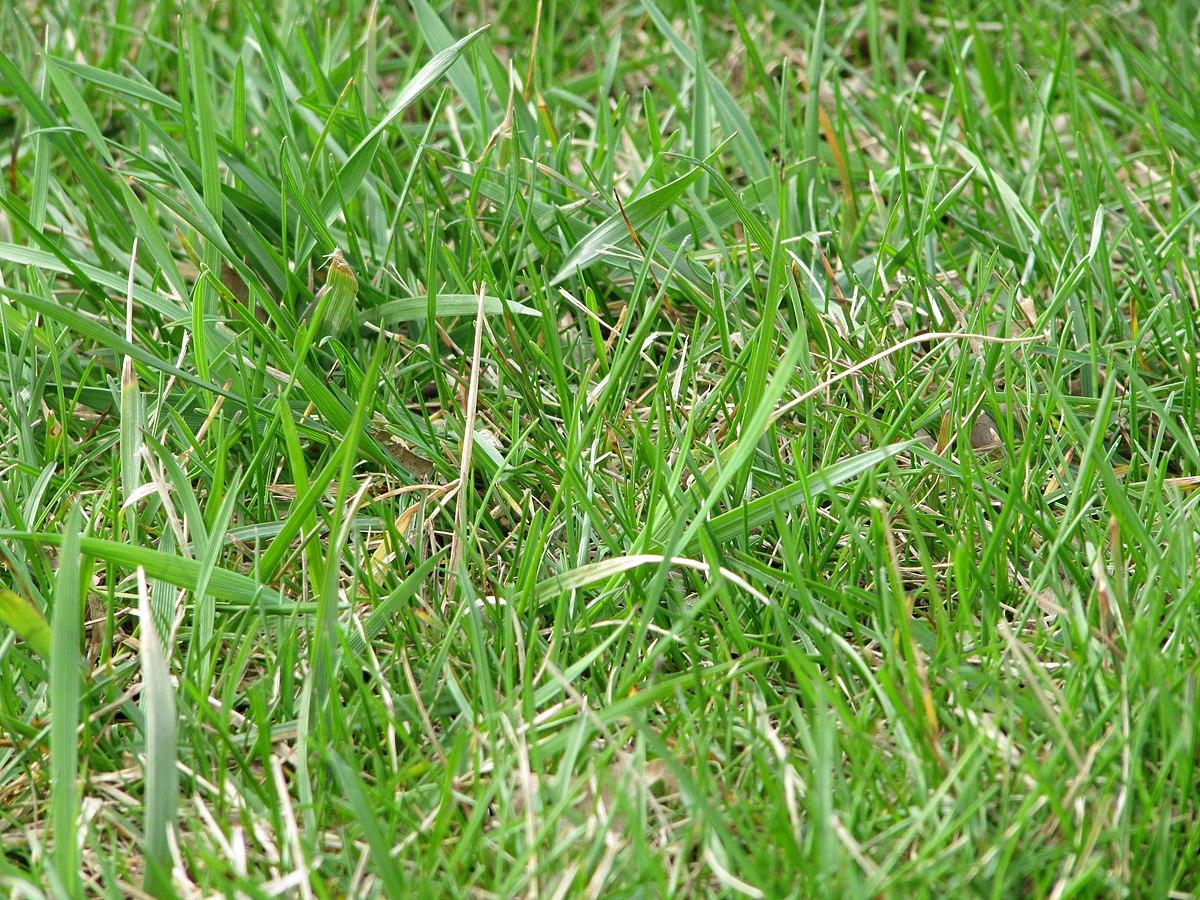 C sped wikipedia la enciclopedia libre for Tipos de cesped natural para jardin