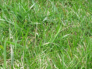 English: Grass in a field.