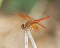 Unidentified Dragonfly 9836 - Doi Inthanon.jpg