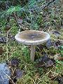 Unidentified fungi2.jpg