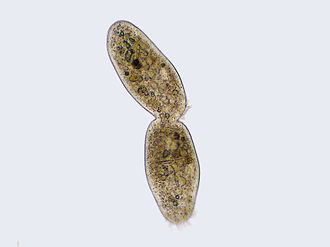 Ciliate - Ciliate undergoing the last processes of binary fission