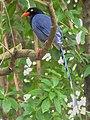 Urocissa caerulea, Taiwan 1.jpg