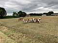 Vaches Route Dommartin St Genis Menthon 4.jpg
