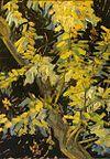 Van Gogh Blossoming-Acacia-Branches-1890.jpeg