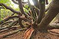 Van Riebeeck's Hedge, Kirstenbosch Botanical Garden, Cape Town-004.jpg