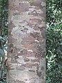 Vateria indica at Periya (2).jpg