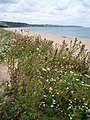 Vegetation at Slapton Sands - geograph.org.uk - 517105.jpg