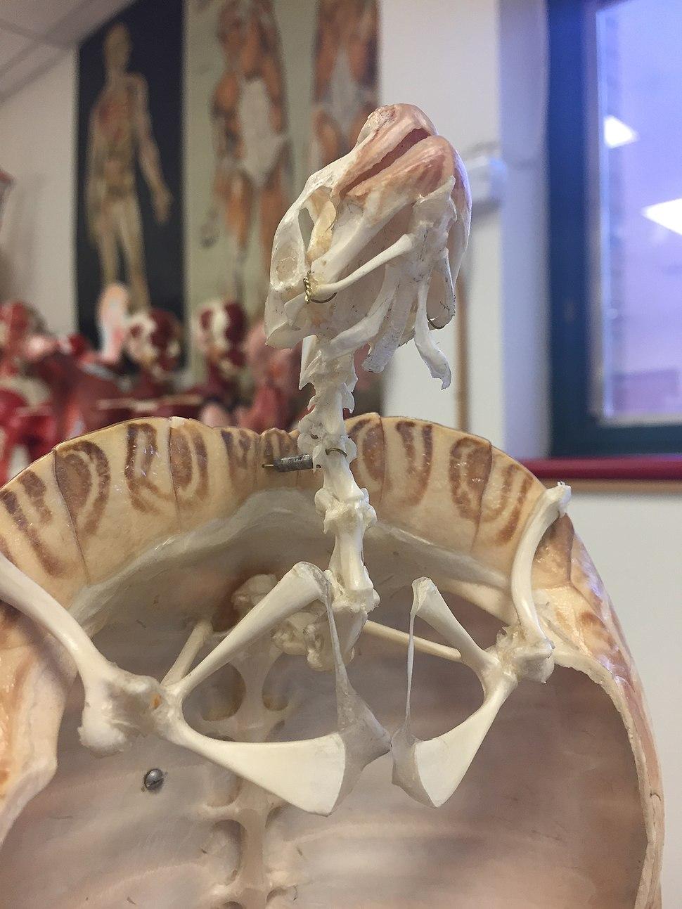 Ventral view of Cryptodira cervical vertebrae