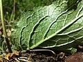 Verbascum phoeniceum sl23.jpg