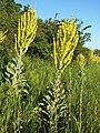 Verbascum speciosum sl16.jpg