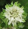Vernonia calvoana (4530718850).jpg