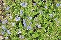 Veronica chamaedrys in Jardin Botanique de l'Aubrac.jpg
