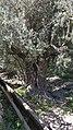 Very old Olive tree.jpg