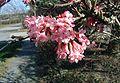 Viburnum-farreri-flowers.JPG