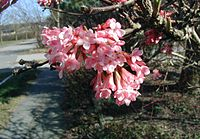 Viburnum-farreri-flowers
