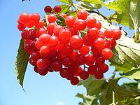 Плоды калины содержат очень большое количество минеральных солей: в 100 г свежих ягод имеется почти 100 мг% фосфора, 15 мг% магния, более 38 мг% калия, есть железо, марганец, медь, стронций, йод.