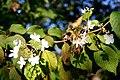 Viburnum plicatum Tomentosum JPG1a.jpg