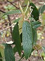 Viburnum rhytidophyllum Kalina sztywnolistna 2018-04-15 01.jpg