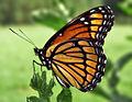 Viceroy Butterfly.jpg