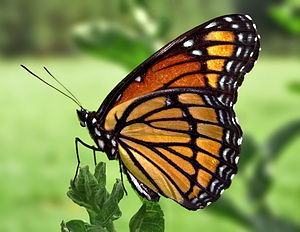 Tagalog Wikipedia - Image: Viceroy Butterfly