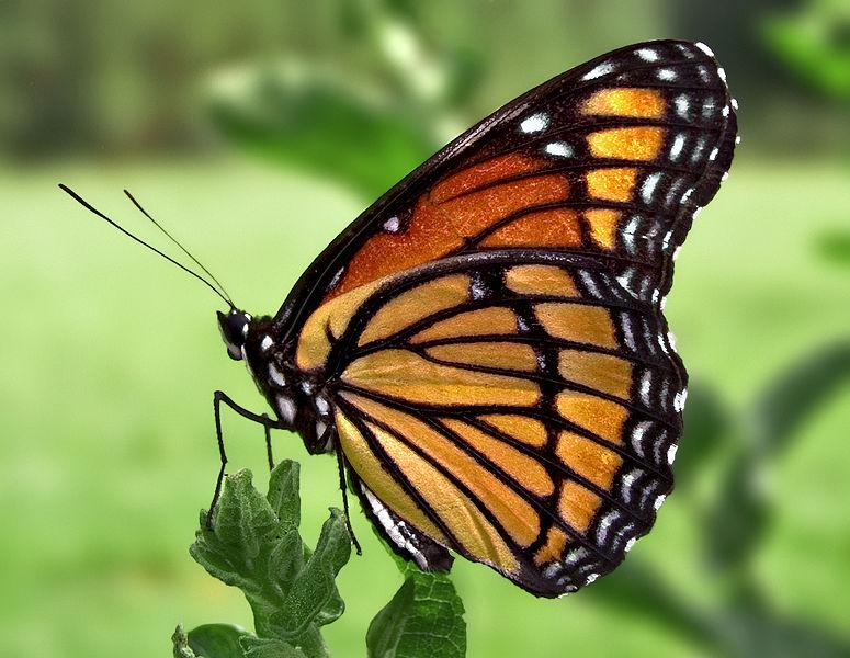 File:Viceroy Butterfly.jpg