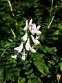 Vicia sylvatica sl39.jpg