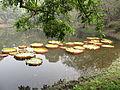 Victoria amazonica - Indian Botanic Garden - Howrah 2012-01-29 1696.JPG