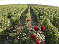 Vigne Pinot Noir (Cerseuil) Cl.J.Weber02 (23382073430).jpg