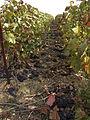 Vignes (Alentours de Festigny.51) Cl.J.Weber (23049524584).jpg