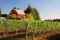 Vineyard Barn (Yamhill County, Oregon scenic images) (yamDA0063a).jpg