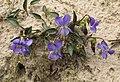 Viola canina RF.jpg