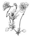 Viola valderia Coste 395.png