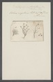 Volvox vegetans - - Print - Iconographia Zoologica - Special Collections University of Amsterdam - UBAINV0274 113 23 0007.tif