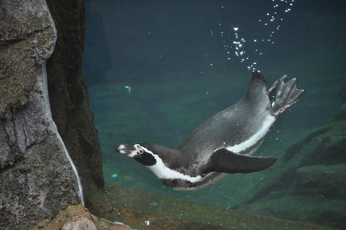 Humboldt penguin - Simple English Wikipedia, the free ...