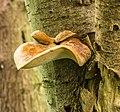 Waaierbuisjeszwam (Polyporus varius) op een dode lijsterbes (Sorbus). Locatie. Natuurterrein De Famberhorst. 08-07-2019. (d.j.b). 04.jpg