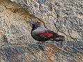 Wallcreeper (Tichodroma muraria) (27844633078) (cropped).jpg