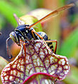 Wasp on a Sarracenia seedling (4994301919).jpg