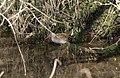 Water rail, Hackney Marshes - geograph.org.uk - 1764453.jpg