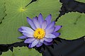 Waterlily Kew Gardens.jpg