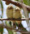 Weebill (Smicronis brevirostris) of Wireless Hill Park, Perth, Western Australia.jpg