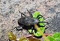 Weevil (9176821787).jpg