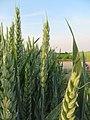 Weizen in Blüte - Triticum infloreszenz.jpg
